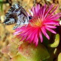 farfalla, succulenta