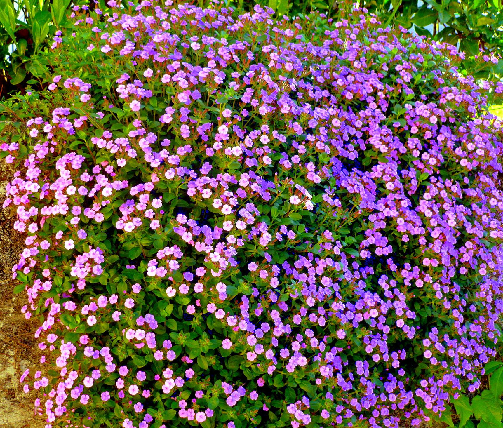 cespugli fioriti da giardino 28 images ginestre