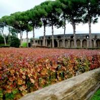 Vitigno Piedirosso, Pompei Anfiteatro 79 A.D.