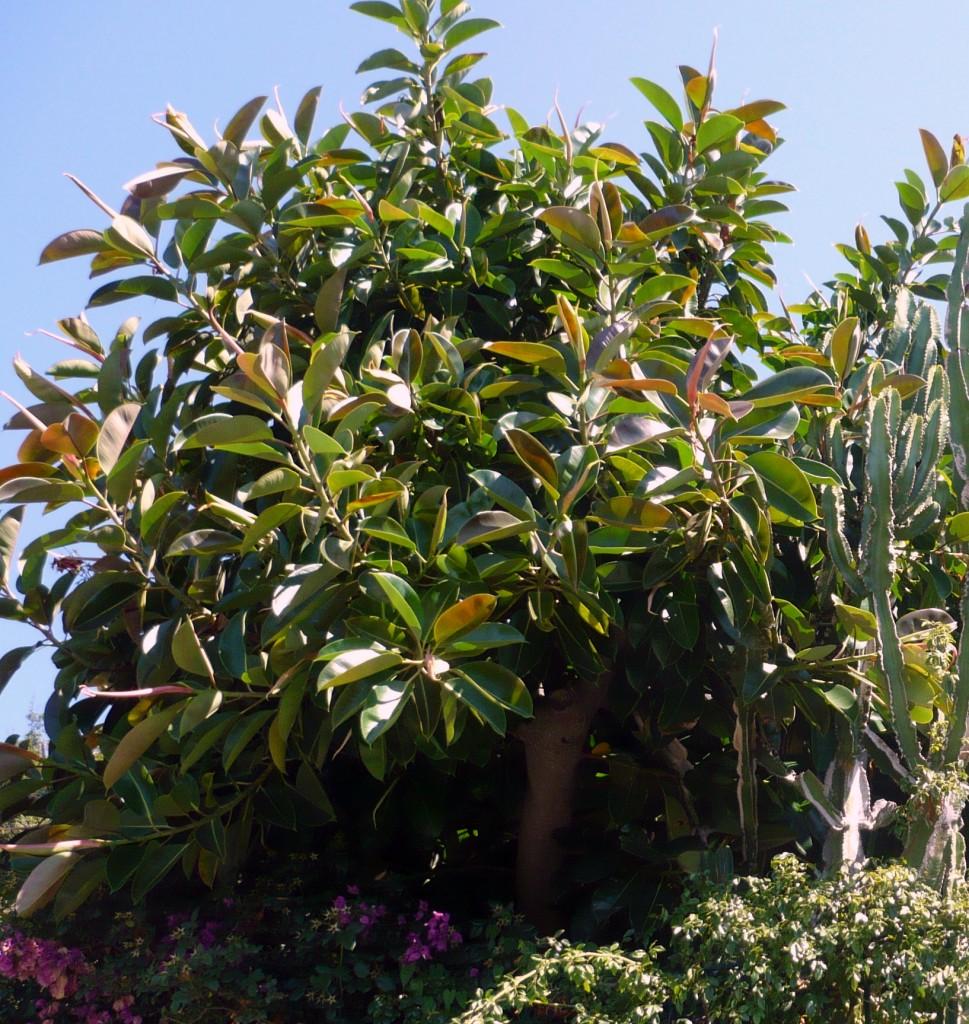 ficus elastica,www.casafacilefelice.org,giardino,