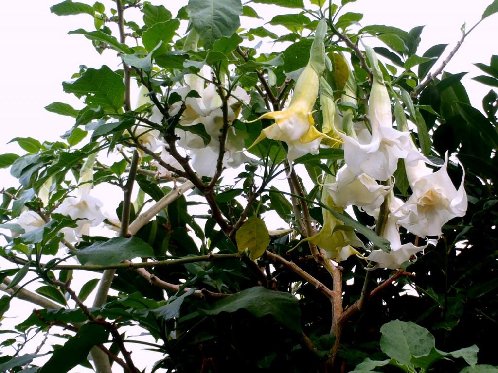 trombone, Brugmansia a fiore doppio, casafacilefelice,org