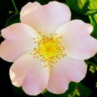 casafacilefelice.org, rosa canina,fiore