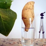 casafacilefelice.org, patata dolce, germoglio