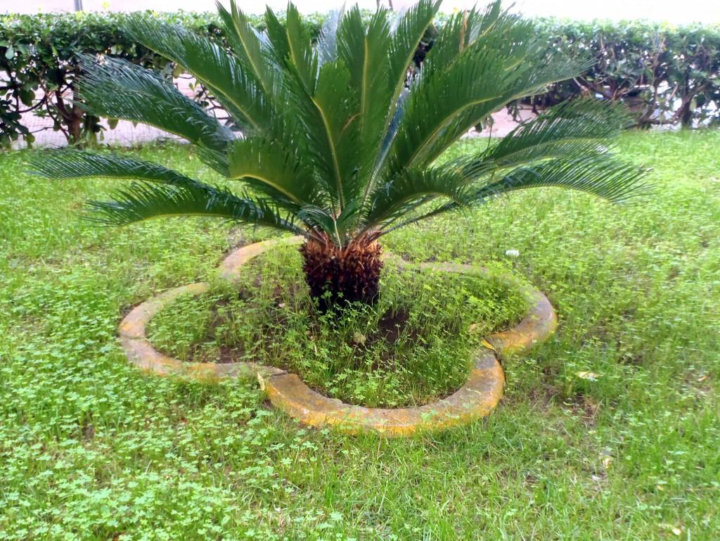 cycas,www.casafacilefelice.org,giardino,