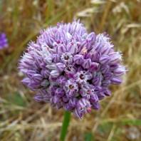 cipolla,cipolla,allium cepa,fiore,www.casafacilefelice.org,