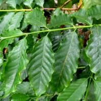 Coffea Arabica, foglie,